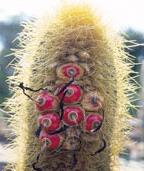 Coleocephalocereus estevesii