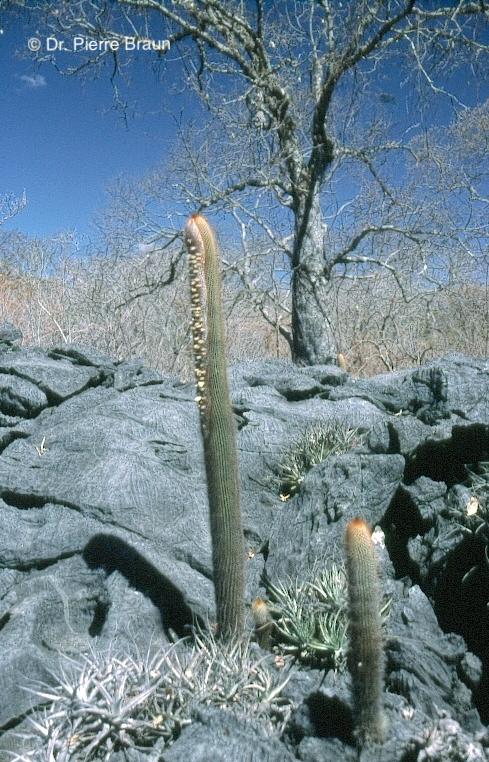 Siccobaccatus estevesii