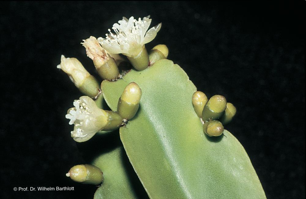Rhipsalis agudoensis