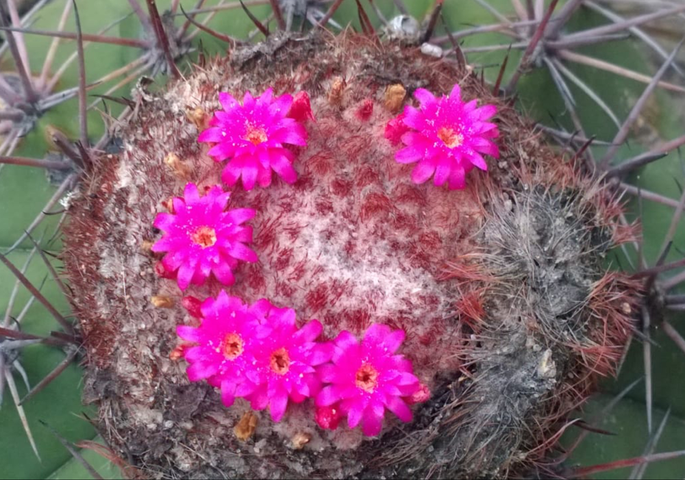Melocactus heimenii (Photo: Bruno Goncalves Brito)