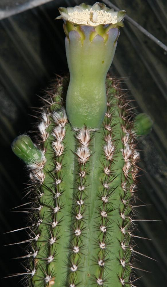 Pilosocereus catingicola ssp. hapalacanthus