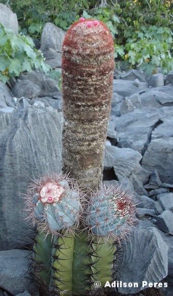 Melocactus warasii