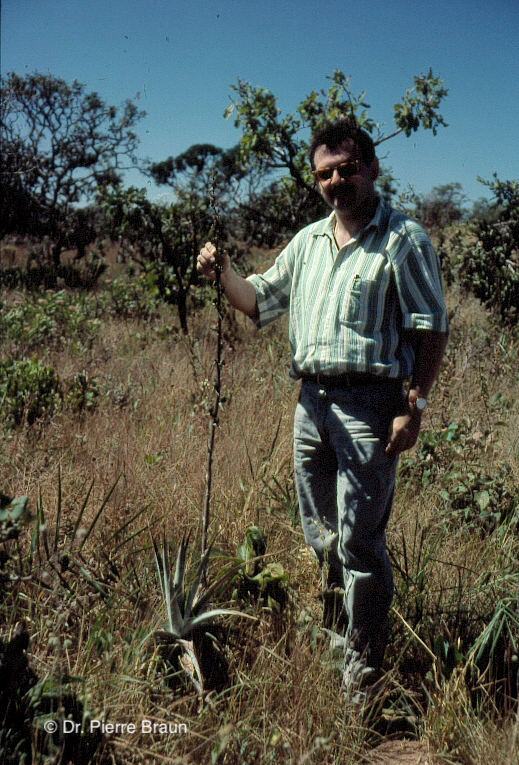 Dyckia brasiliana, Goias/Brasil 1998