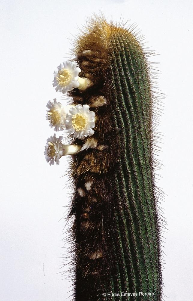 Siccobaccatus estevesii ssp. grandiflorus