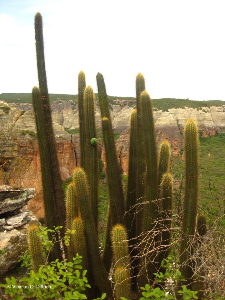Pilosocereus piauhyensis ssp. mucosiflorus