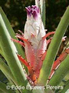Bromelia ferox