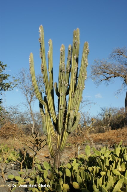 Pilosocereus pseudosuperfloccosus zusammen mit / together with/ junto com Tacinga saxatilis ssp. occibahiensis
