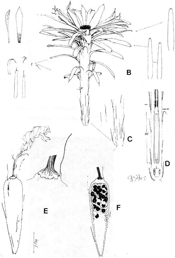 Discocactus hartmannii ssp. setosiflorus