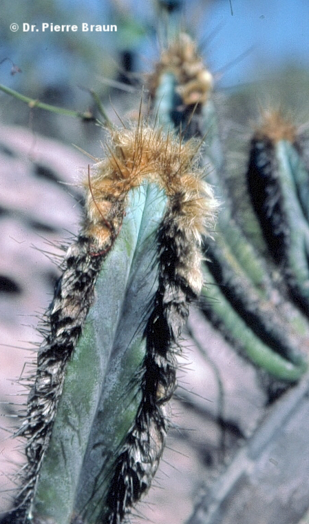 Pilosocereus fulvilanatus ssp. vanheekianus