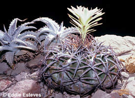 Dyckia lindevaldae & Discocactus lindanus