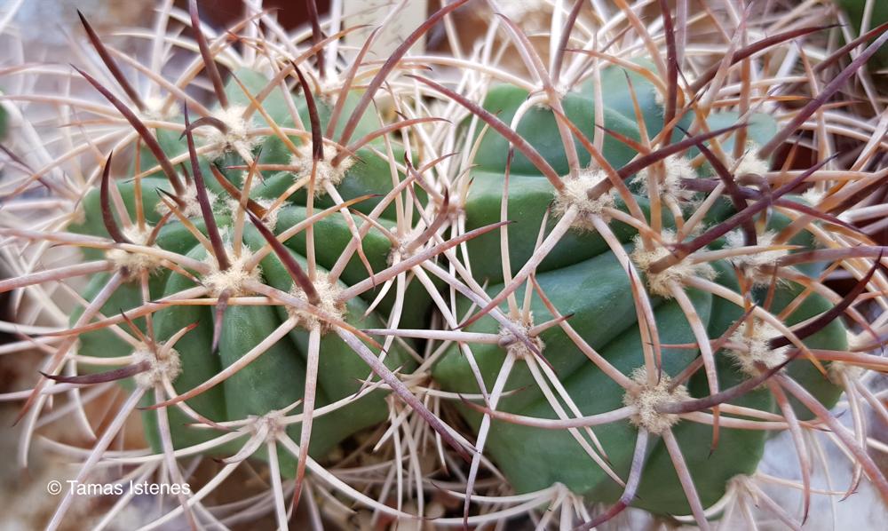 Melocactus  zehntneri ssp. arcuatispinus
