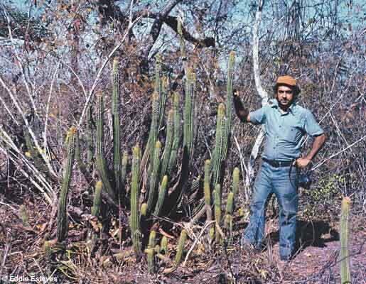 Pilosocereus densivillosus, Goias, ca 1973