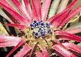 Bromelia lindevaldae