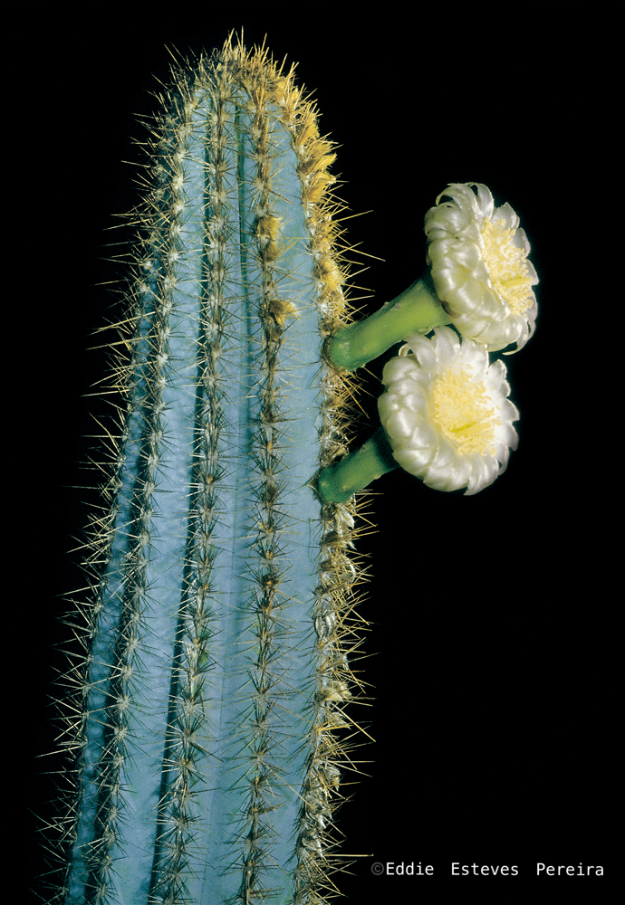 Pilosocereus jauruensis ssp. cincinnopetalus  (Photo: Eddie Esteves Pereira)