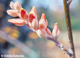 Dyckia paucispina