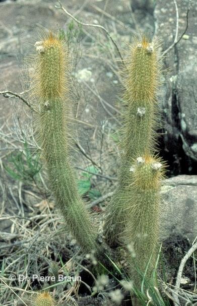 Arthrocereus melanurus ssp. estevesii am Typstandort / type locality / localidade do tipo