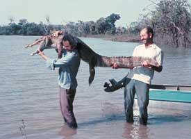 Eddie Esteves, gefangenes Jacare im Pantanal Mato Grosso / Eddie Esteves, capturando Jacaré no Pantanal Mato Grosso