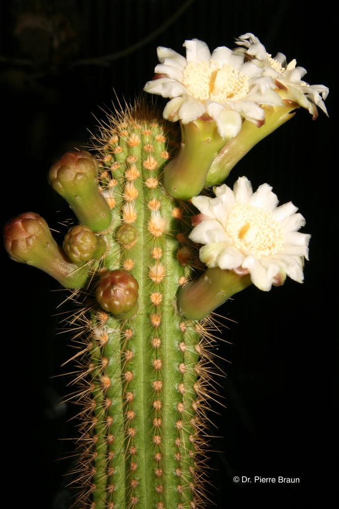 Pilosocereus vilaboensis