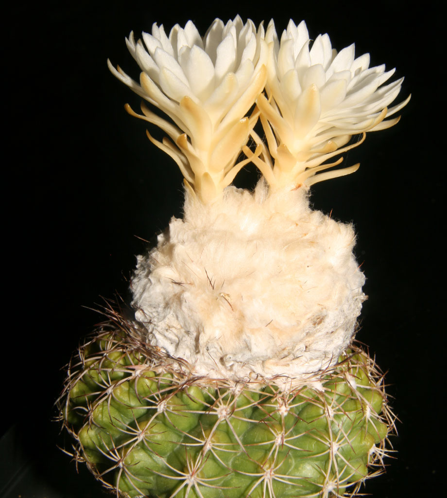 Discocactus zehntneri ssp. buenekeri