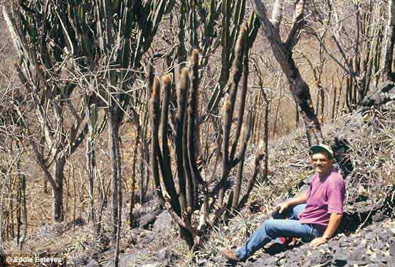 Pilosocereus diersianus & Cereus pierre-braunianus, Goias 1998