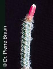 Arrojadoa albicoronata