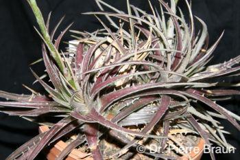 Dyckia granmogulensis