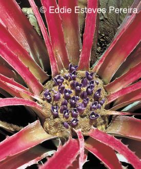 Bromelia magnifica