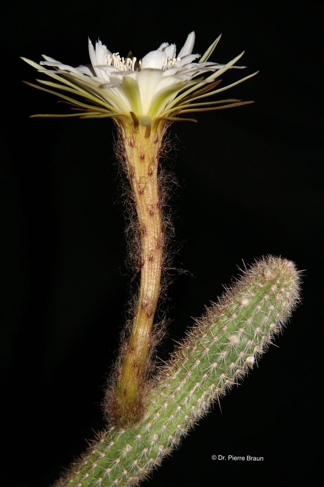 Arthrocereus odorus