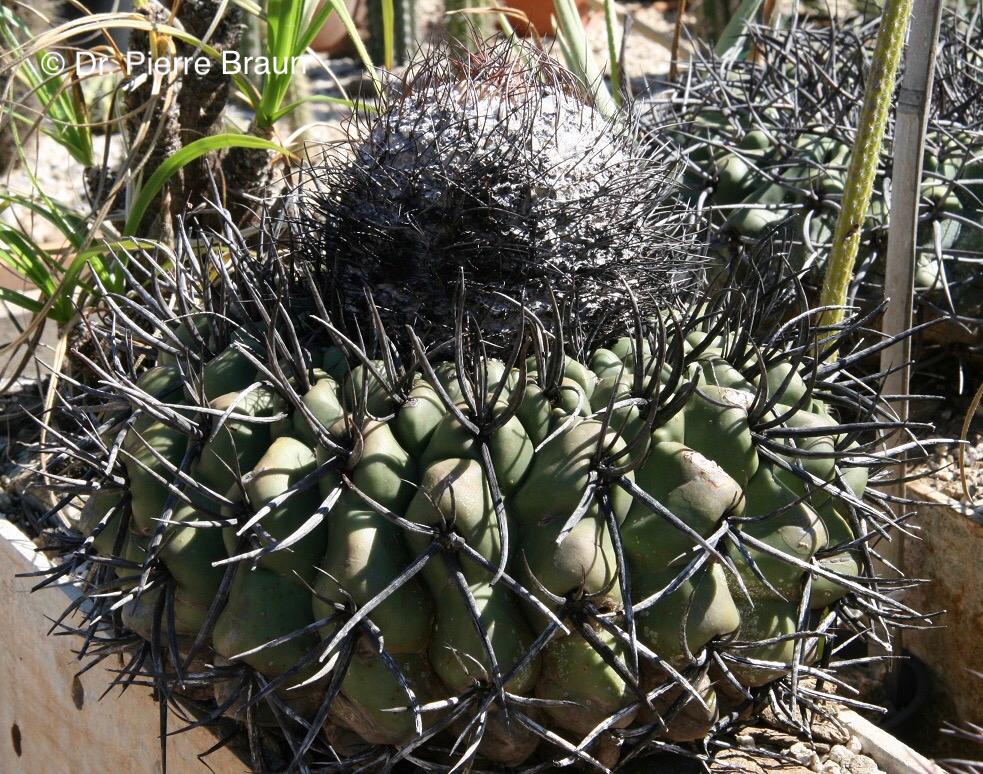 Discocactus diersianus