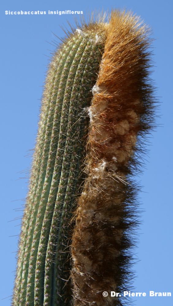 Siccobaccatus insigniflorus