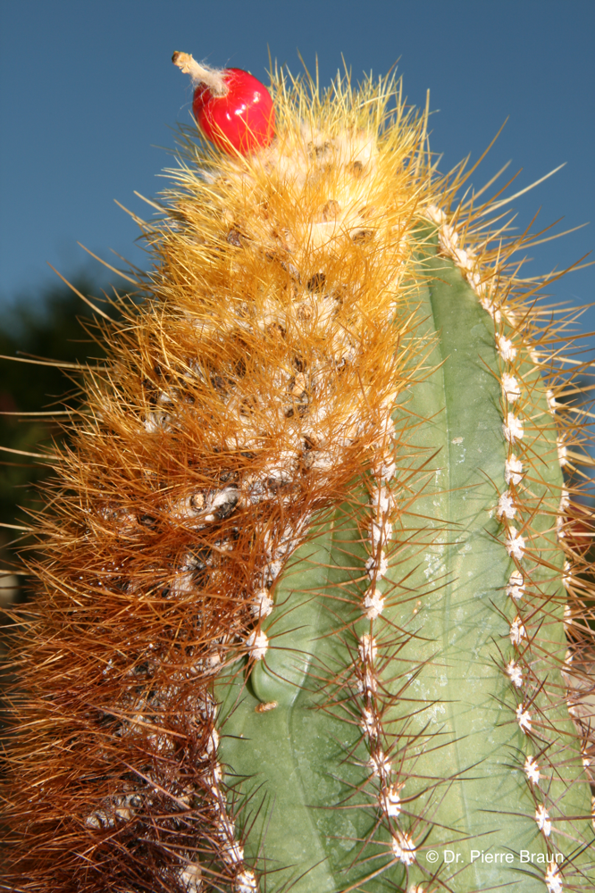 Coleocephalocereus aureus ssp. brevicylindricus