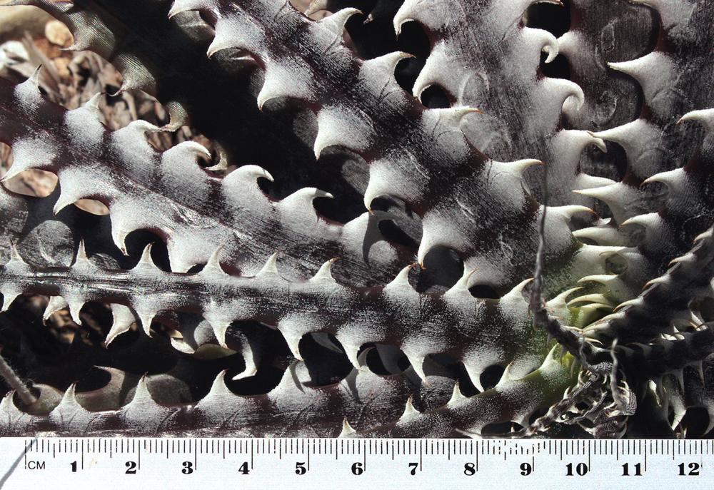 Encholirium pierre-braunii