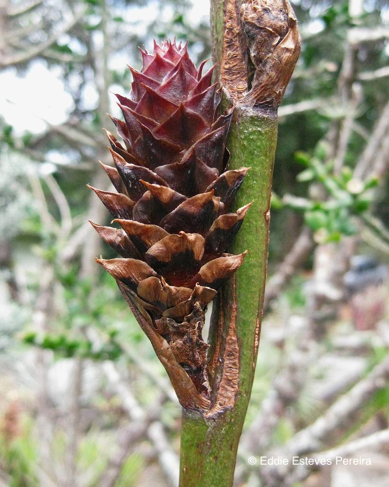 Encholirium bracteatum