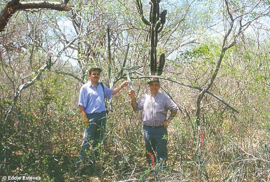 Cereus estevesii, Minas Gerais 1999