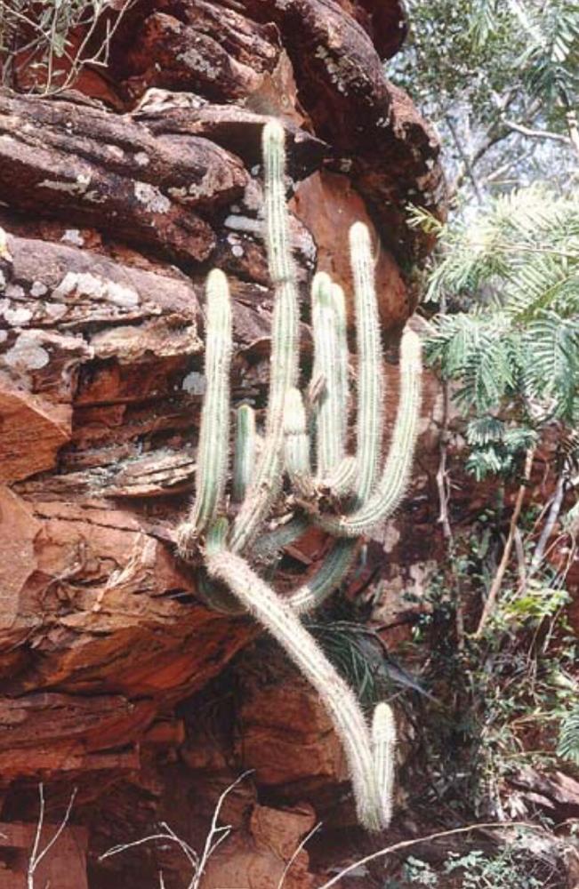 Pilosocereus pusillibaccatus, Typstandort / type locality