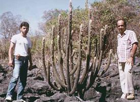Facheiroa estevesii, Bahia 1984