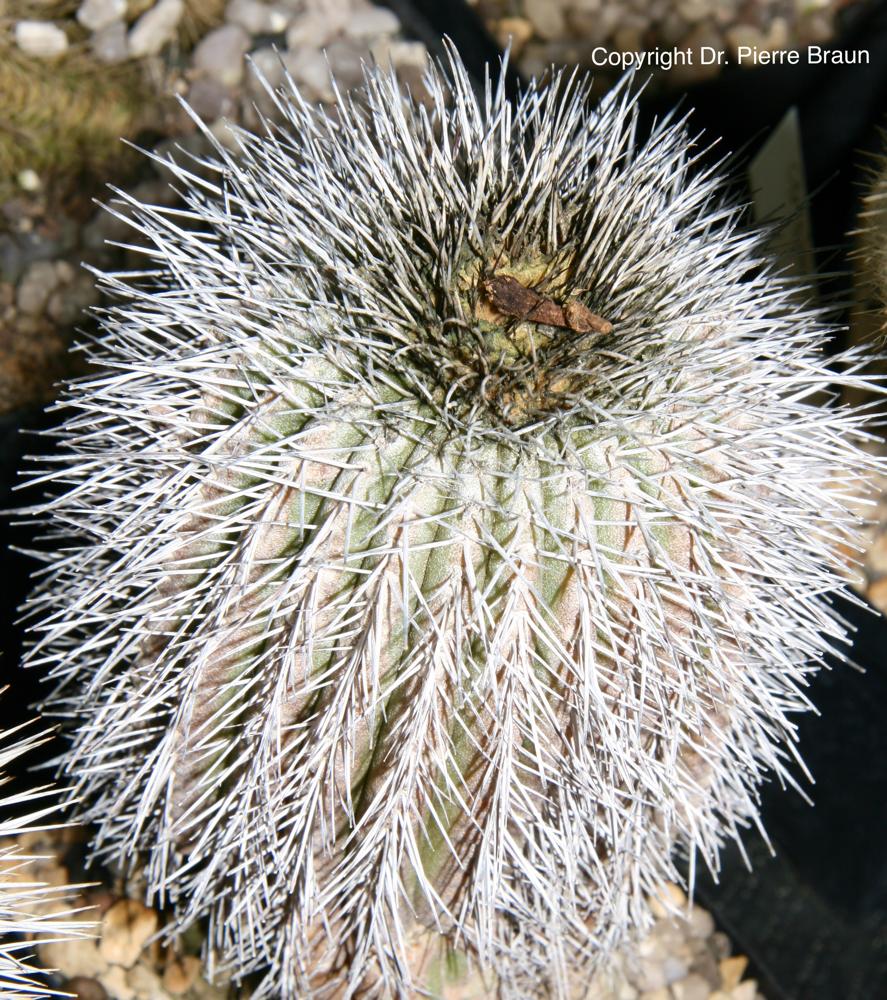 Uebelmannia pectinifera ssp. horrida