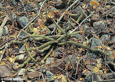 Arrojadoa rhodantha var. anguinea