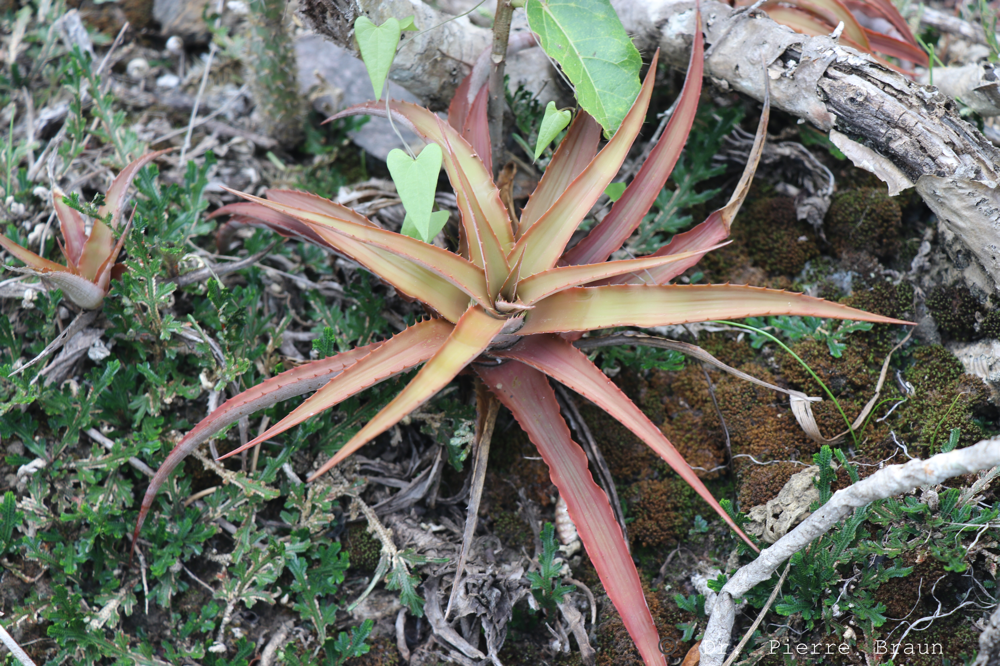 Cryptanthus heimenii
