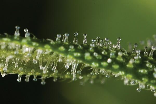 Tricomas sobre una hoja de marihuana, todavía inmaduros (transparentes)