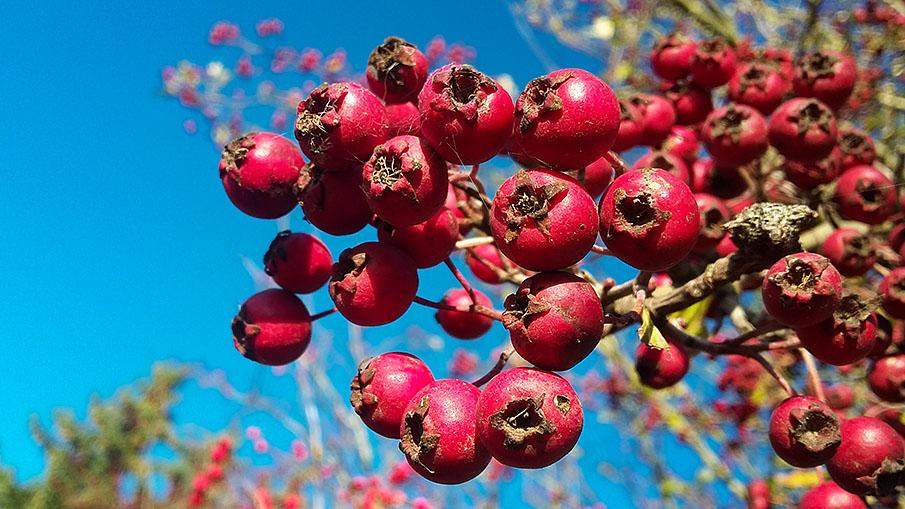 Die Früchte des Weißdorns werden z. B. von Wacholderdrosseln gerne verspeist. Foto: Simon Hinrichs