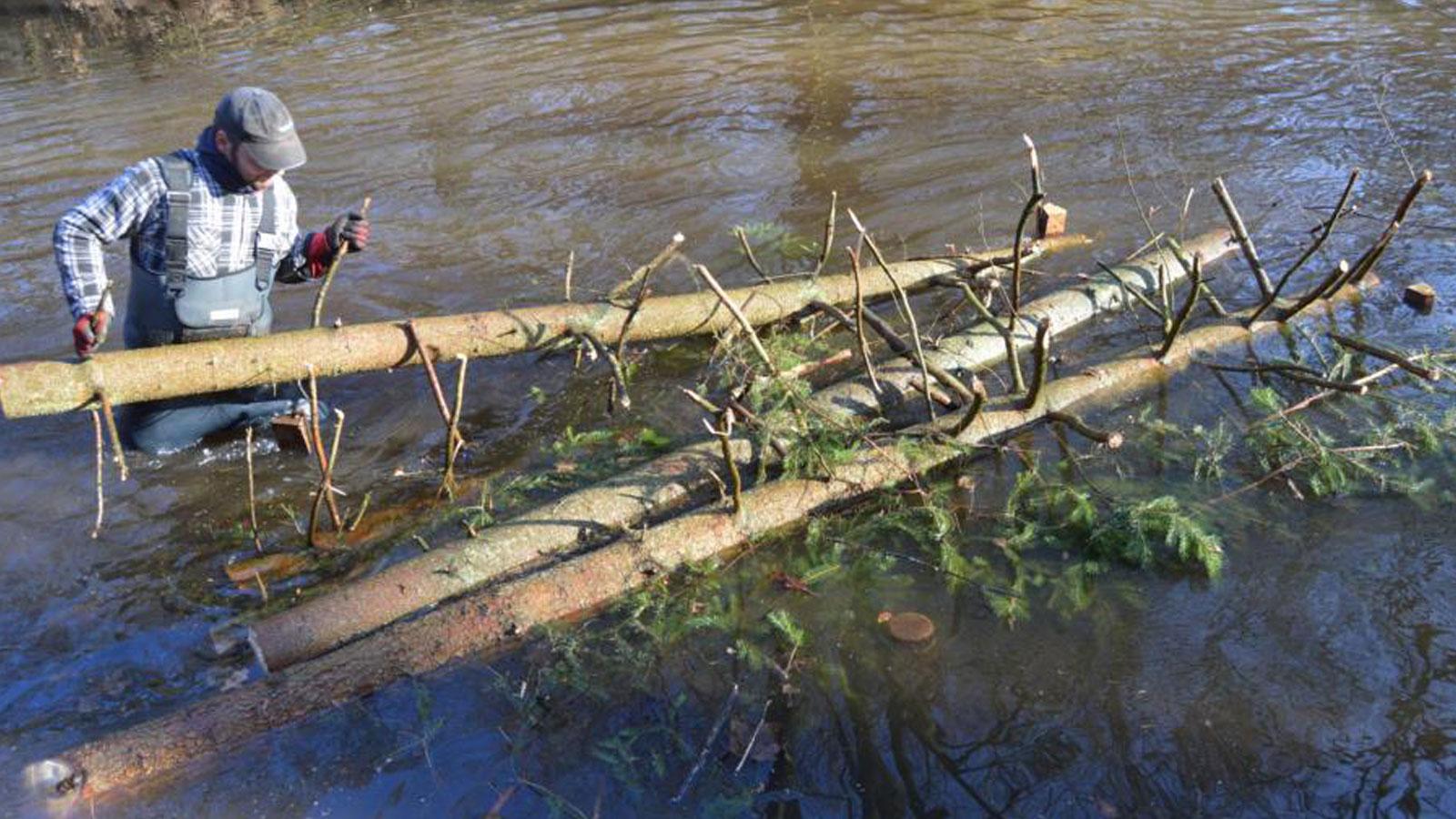 Totholz ist wichtig für Gewässer! Rauhbaum-Einbau als Strömungslenker. Fichten gehören nicht in die Aue, übernehmen aber als Totholz im Wasser wichtige ökologische Funktionen.