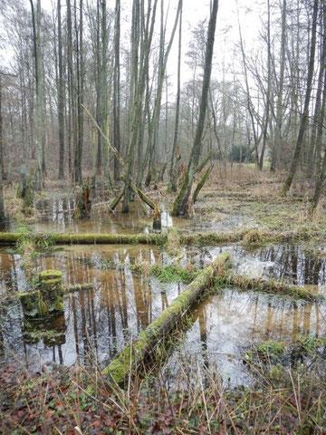 Beteiligungsstrecke: Wo der Wanderweg die Alster verlässt, hier oberhalb der Grevenaubrücke, bildet sich stellenweise wildromantischer Feuchtwald aus. Dies sind die wertvollsten Ruhezonen für Tiere im Alstertal.