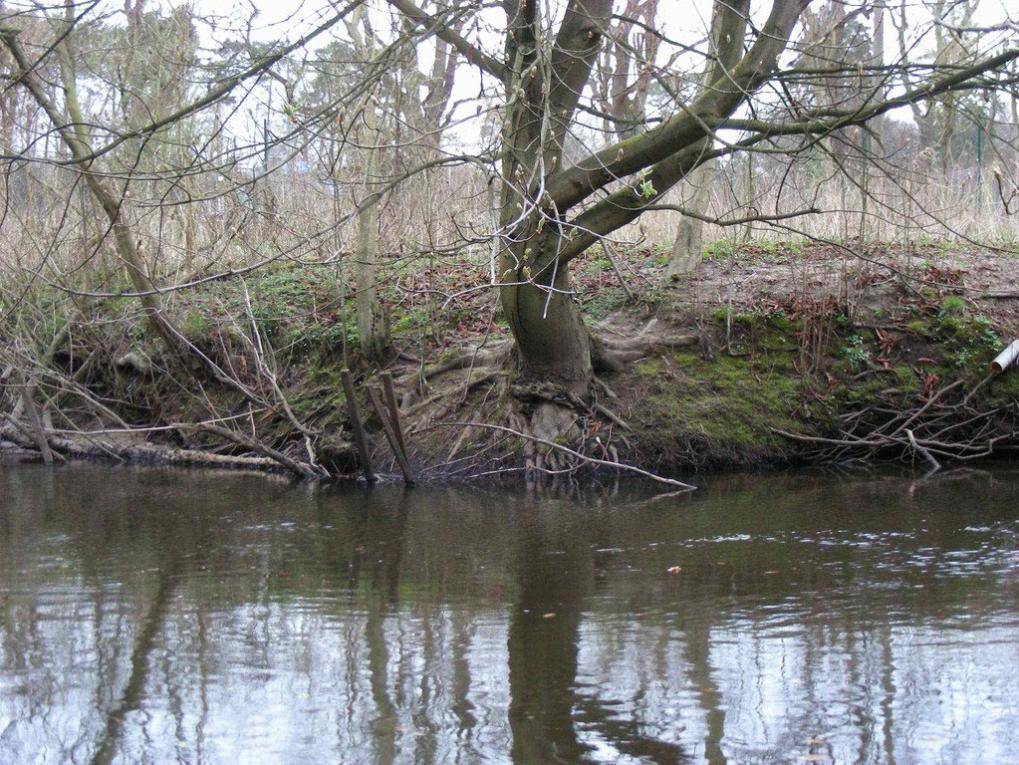 Beteiligungsstrecke am 30.03.2012: eine Kastanie am Alsterufer beim Hockeyclub. Es sieht fast so aus, als wenn dieser Baum mit seinen Wurzeln unter die Wasserlinie reichte und damit das Ufer befestigen könnte - was sonst nur die Erlen tun.