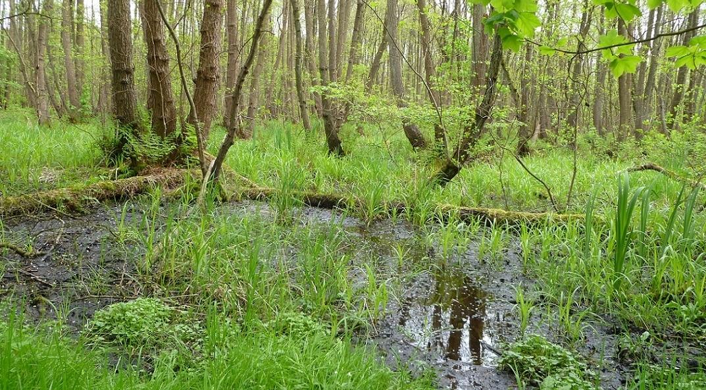 Erlenbruchwald an der Alster. Entwässerung als Folge von Gewässerausbau, intensiver Gewässerunterhaltung und Grundwasserentnahmen machen Erlenbruchwälder zu einer der am meisten gefährdeten Waldgesellschaften in Mitteleuropa.