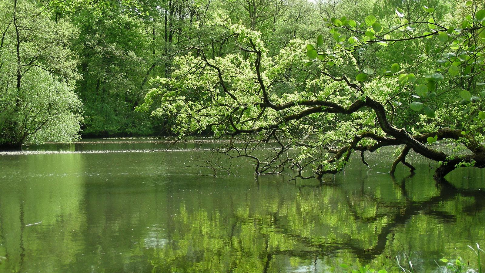 Altwasser an der Alster? Durch Wehre wird die Alster aufgestaut und verliert ihren Fließgewässercharakter. Fischtreppen sollen die Durchgängigkeit herstellen.