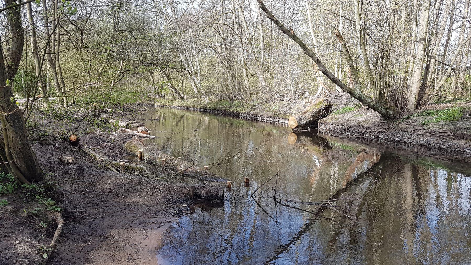 Der Baum wurde gekappt und der Stamm sowie einige kräftige Äste als naturnahe Uferbefestigung eingebaut (Foto: A. Lampe).