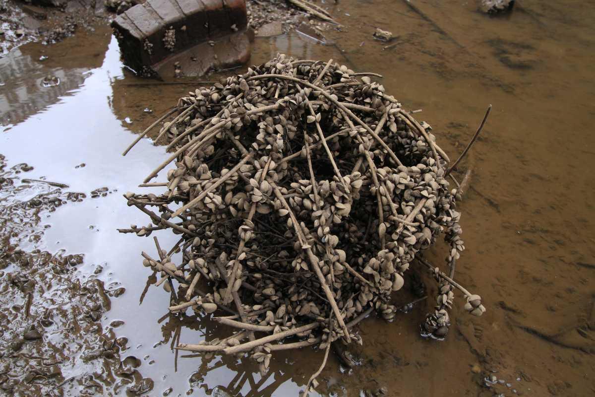 Eine abgerissene, schon etwas verwitterte Weidenkugel ist von der Dreikantmuschel besiedelt worden (Foto: A. Lampe).