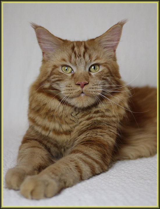 Beeny Maine Coon