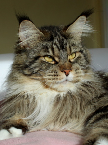 Maine Coon black tabby cl white